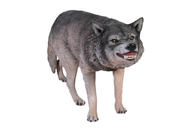 Growling Wolf Life Size Statue