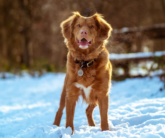 Young dog standing in the snow facing the camera