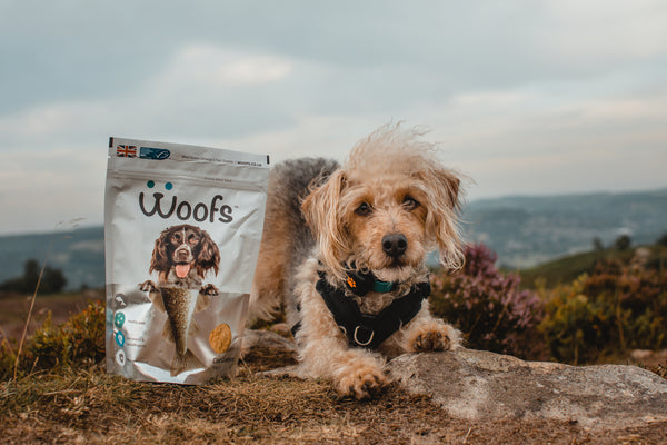 Jackapoo dog with WOOFS Dog Treats