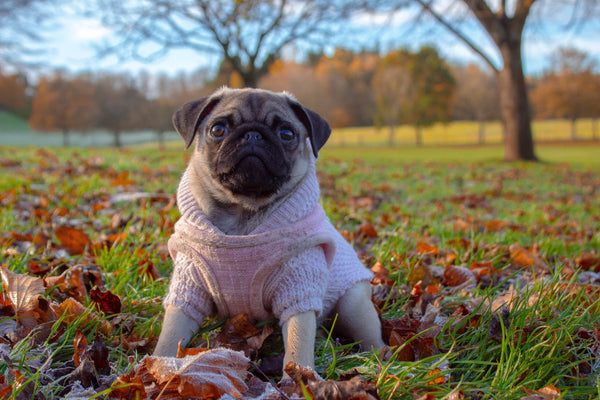 Pug in a jumper and harness