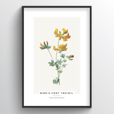 Birds Foot Trefoil Botanical Wholesale Art Prints