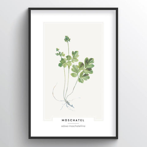 Moschatel Botanical Wholesale Art Prints