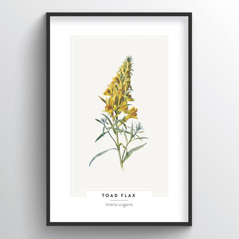 Toad Flax Botanical Wholesale Art Prints