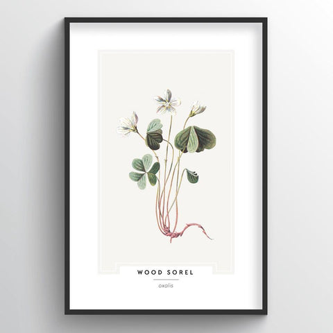 Wood Sorel Botanical Wholesale Art Prints