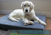 Why Buddyrest has some of the top rated orthopedic dog beds