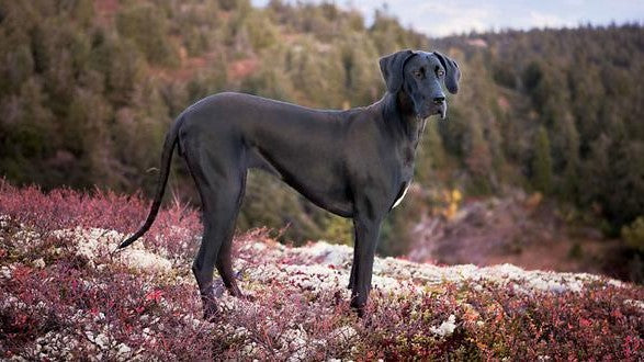 What are the best dog beds for Great Danes?
