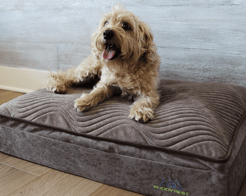 How To Introduce Your Dog To Their New Dog Bed like this golden dog with its tongue out