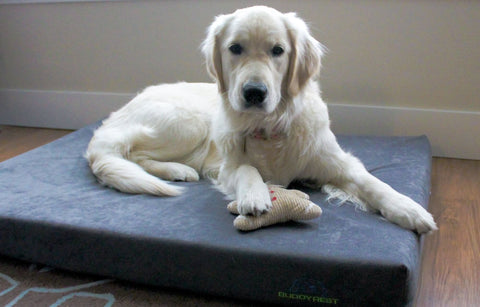 Golden retriever on a grey orthopedic dog bed