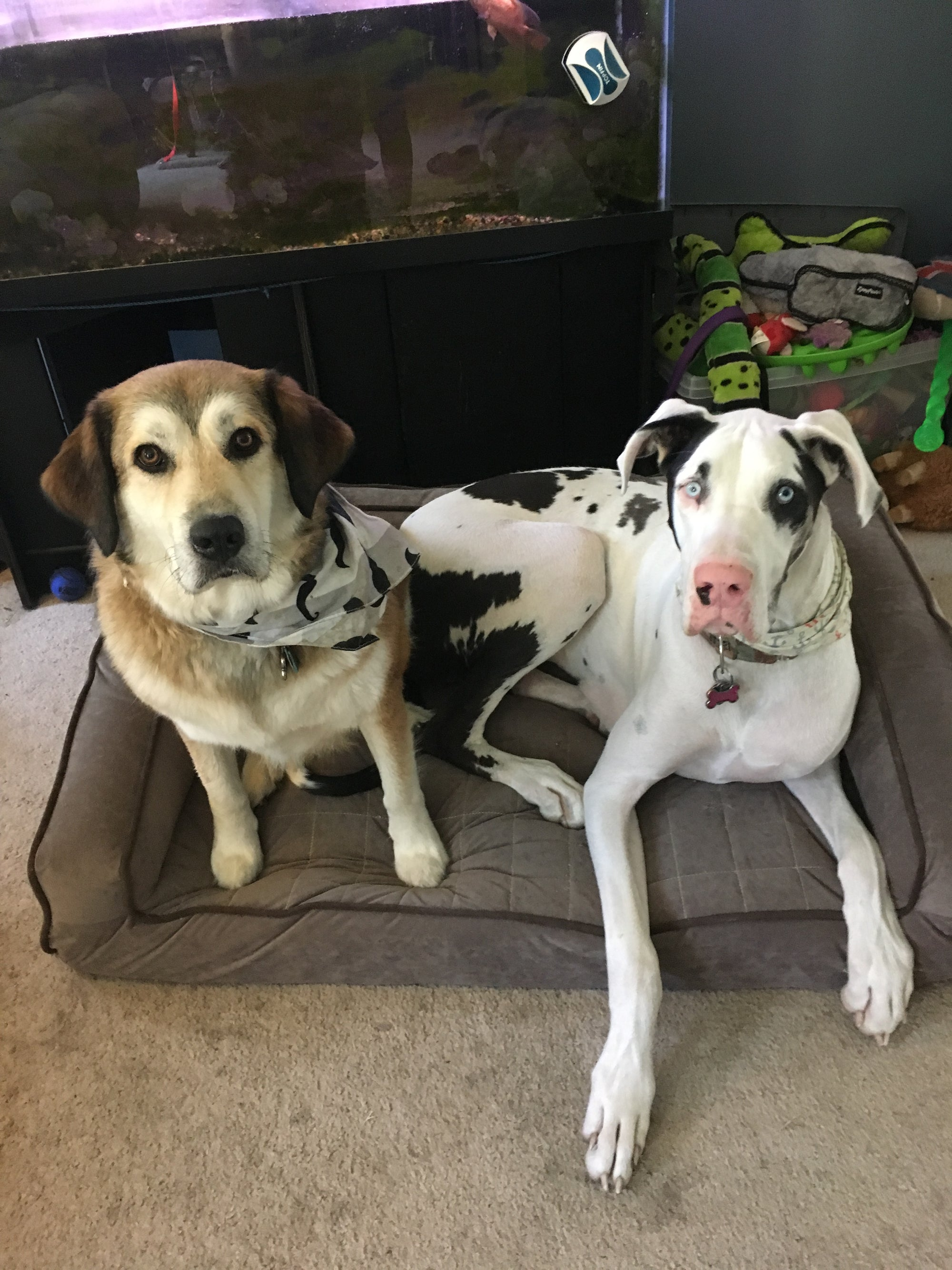brown and white dog and black and white dog both sitting on a mocha buddyrest crown supreme dog bed