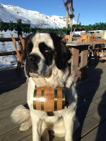 St Bernard in the mountains with a barrel collar