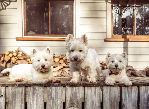Family Of White Cairn Terriers at a cabin
