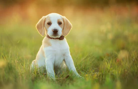 Beagle puppy sitting in a grass field at sunset