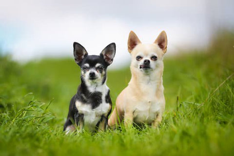 Two old chihuahuas sitting in a grass patch looking at the camera