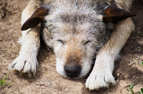 Sleeping old dog outside on dirt