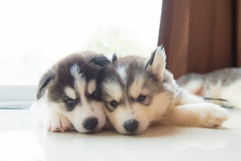 two husky puppies lying on the tile floor