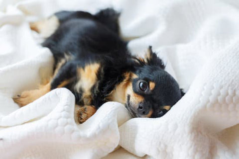 Long haired chihuahua laying in bed on a soft blanket