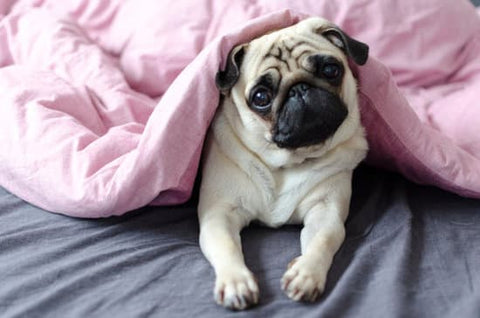 Pug laying under a pink comforter in bed
