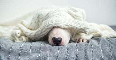 White dog laying under a soft blanket on the bed