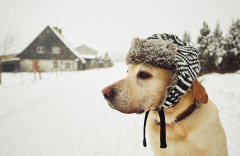 White Lab out in the snow with a fur winter cap on