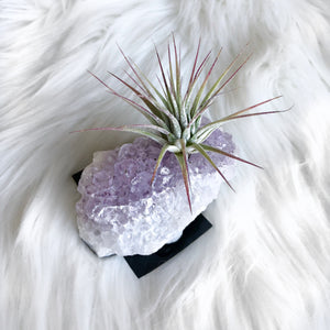 Crystal Air Plant Small
