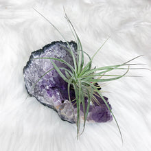 Crystal Air Plant