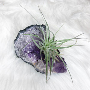 Crystal Air Plant - Large