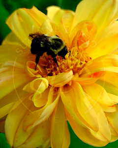 Bee on Yellow Flower - Suzanne Barton - Limited Edition
