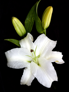 Easter Lily - Suzanne Barton - Limited Edition