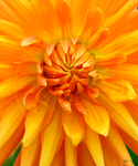 Orange Dahlia - Suzanne Barton - Limited Edition