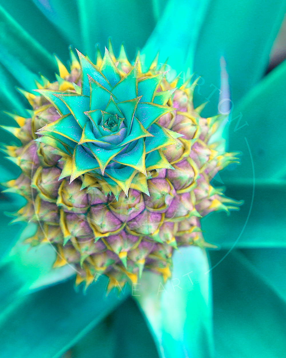 Pineapple I - Suzanne Barton - Limited Edition
