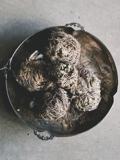 Rose of Jericho Resurrection Plant
