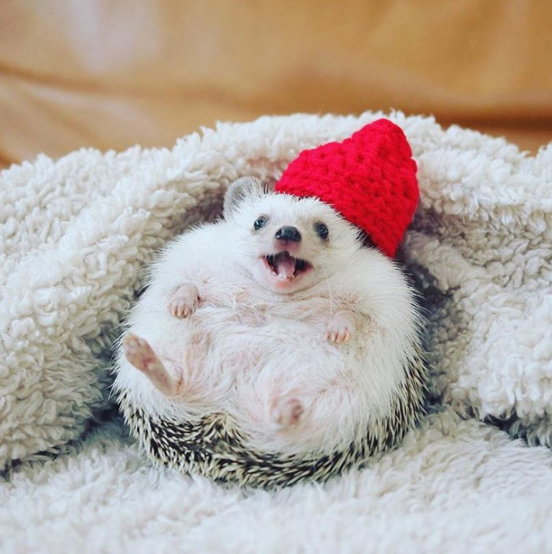 Azuki Hedgehog - Instagram Famous Animals
