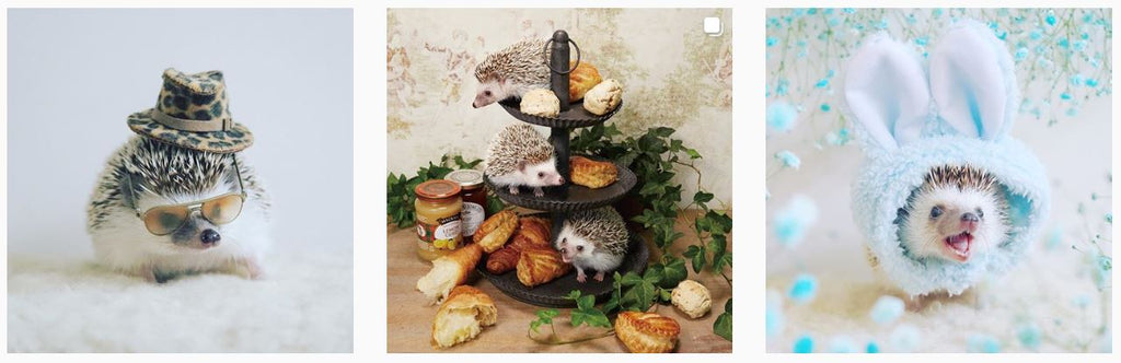 Hilarious Hedgehog Azuki - Insta Famous Pets at HeadyPets Pet Accessories