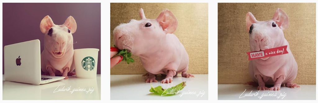 Ludwik Hairless Guinea Pig - Instagram Famous Animals