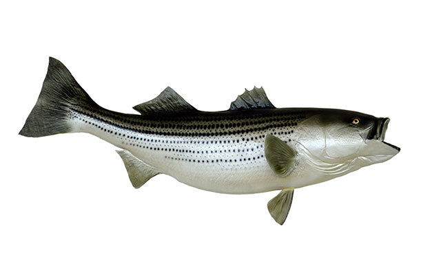 Striped Bass, White Bass and Hybrids