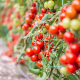 Large Red Cherry Tomatoes 250mg / approx. 80 seeds