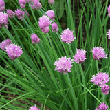 Garlic Chives 500mg / approx. 120 seeds