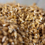 Organic Hard Red Wheat Sprouting Seeds (8 ounces) - My Patriot Supply