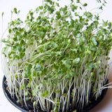 Organic Broccoli Sprouting Seeds (4 ounces) - My Patriot Supply