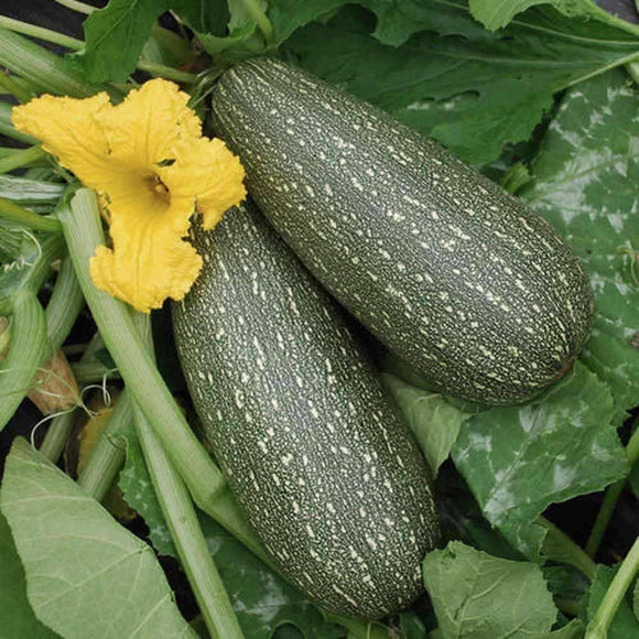 Grey Zucchini Seeds (14g) - My Patriot Supply