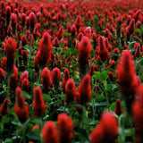 Crimson Clover Wildflower Seeds (1g) - My Patriot Supply