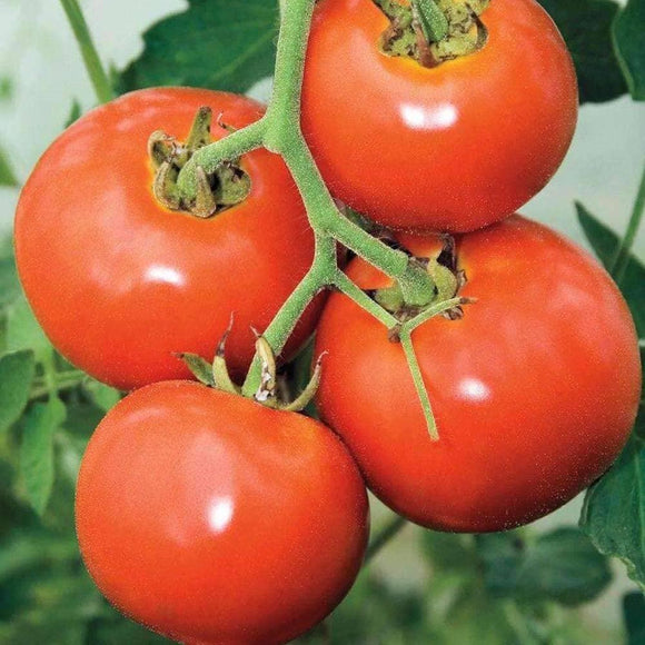 Manitoba Tomato Seeds (250mg) - My Patriot Supply