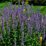 Anise Hyssop Herb Seeds (500mg) - My Patriot Supply
