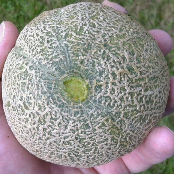 Minnesota Midget Cantaloupe Seeds (2g) - My Patriot Supply