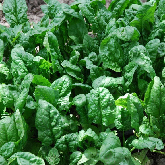 Giant Noble Spinach Seeds (3g) - My Patriot Supply