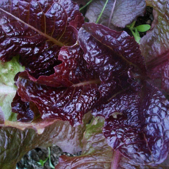 Red - Romaine Lettuce Seeds (1g) - My Patriot Supply