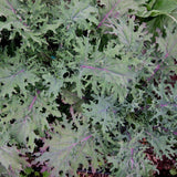 Organic Red Russian Kale Seeds (500mg) - My Patriot Supply