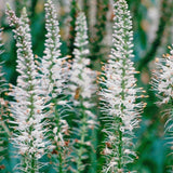 Culver's Root Herb Seeds (500mg) - My Patriot Supply
