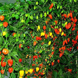 Organic Rio Grande Hot Pepper Seeds (250mg)