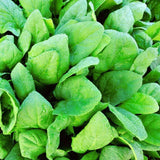 Organic Deer Tongue Amish - Leaf Lettuce Seeds (500mg) - My Patriot Supply